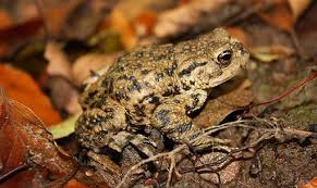 How To Get Rid Of Cane Toads In Backyard Frogs And Toads In The Garden Off The Grid News