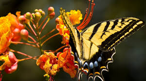 yellow butterfly sitting on flower hd animals wallpapers