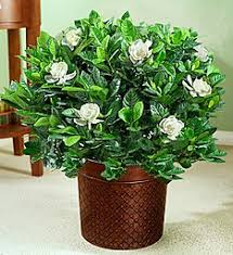 gardenia plants and bushes gardenia delivery 1800flowers