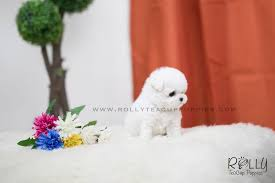 bichon frise fluffy sold to williams fluffy bichon frise f u2013 rolly teacup puppies