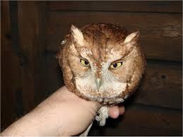 Barn Owl Sounds The Owls Of Penn U0027s Woods Pennsylvania Ebird
