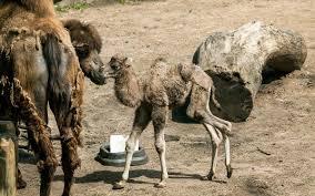 lincoln park zoo names newborn u0027alexander camelton u0027