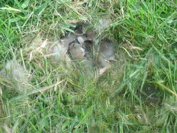 baby rabbits i found in my backyard while mowing album on imgur