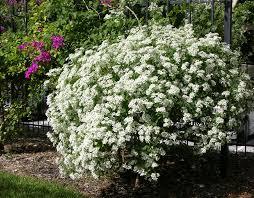 White Flowering Shrub - beautiful large flowering bushes homesfeed