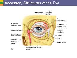 Eye Ducts Anatomy Special Senses Vision Overview Of Special Senses Anatomy Of