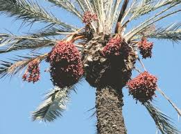 Palm Trees Fruit - date palm tree pictures phoenix palm images using palm trees for