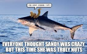 Funny Shark Memes - sandy the squirrel goes for 8 seconds shark week a raydog and