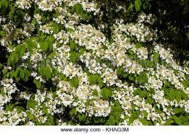 White Flowering Shrub - japanese snowball bush viburnum plicatum white flowers on