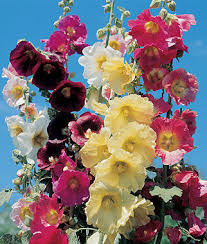 hollyhock flowers country mix hollyhock seeds and plants perennnial flowers