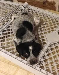 rescue an australian shepherd puppy the 25 best ideas about australian shepherd rescue on pinterest