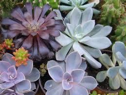 succulent plants world of succulents
