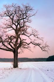 free old oak tree at winter sunset stock photo freeimages com