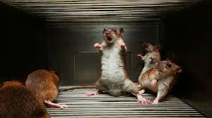 Rat Meme - index of cdn hdwallpapers 552