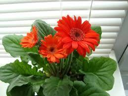 gerbera plant gerbera jamesonii transvaal our house plants