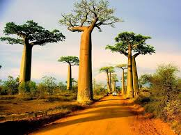 How To Grow A Bulb In A Vase How To Grow A Baobab Tree Everything About Baobab
