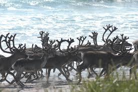norway sweden in quarrel over cross border reindeer grazing the