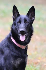 belgian sheepdog national specialty 2014 51 best german shep images on pinterest german shepherds german