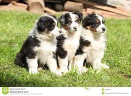 australian shepherd puppies queensland three australian shepherd puppies sitting together stock image