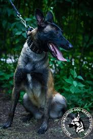 belgian malinois dog get belgian malinois wide leather dog collar