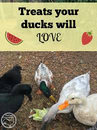 treats your ducks will love healthy treats farming and homesteads