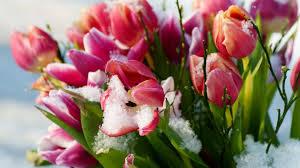 beach tulips winter flowers snow beach wallpaper s6 hd 16 9 high