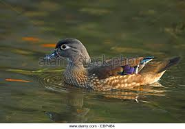 american wood duck stock photos american wood duck