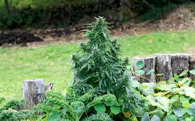 proper lights for growing weed how to grow marijuana outside a beginner s guide leafly