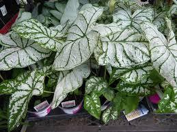 photo of the entire plant of fancy leaf caladium caladium white