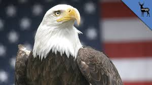 Bald Eagle And American Flag Why Does The Bald Eagle Represent America Youtube