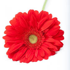 gerbera daisies gerbera daisies martin s specialty store order online online