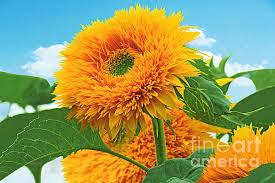 teddy sunflowers teddy sunflowers photograph by geoghan