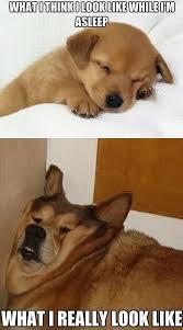 Lazy Meme - puppy sleeping vs lazy old dog sleeping meme