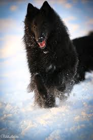 belgian shepherd tattoo best 25 irish sheepdog ideas on pinterest border collie border