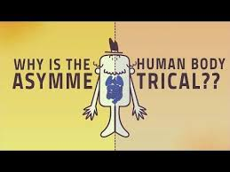 Anatomy And Physiology Human Body And Physiology Human Body Becomes Asymmetrical After Embryo