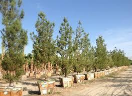 eldarica pine trees