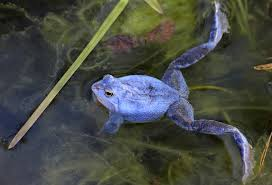 the brown frogs that turn blue during mating season