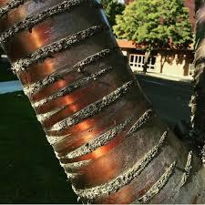 shiny tree bark