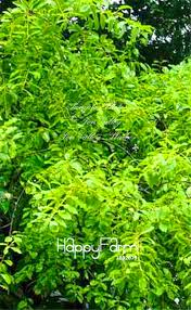 online buy wholesale sandalwood tree from china sandalwood tree