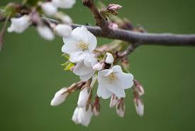 white cherry blossom white cherry blossoms by taeliac on deviantart