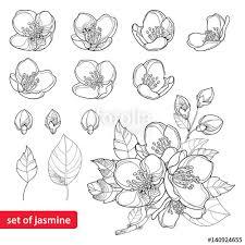 vector outline jasmine flowers bud leaves black