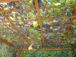 Planting Grapes In Backyard We Have A Small Trellis In Our Backyard With Outdoor Couches And A