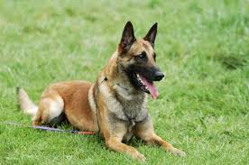 belgian shepherd dog belgian malinois dog complete breed profile