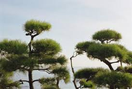 how to get a pine tree to grow in your yard home guides sf gate