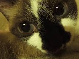 file evil cat jpg wikipedia