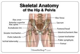 Human Anatomy Skeleton Diagram Human Skeleton Hip Joint U2013 Cultua Info