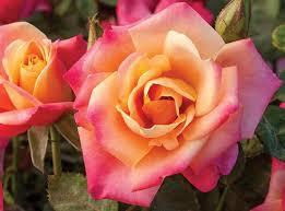multicolor roses multicolored roses plants