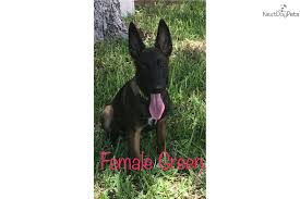 belgian sheepdog for sale in texas von ayce kennel belgian shepherd malinois puppy for sale near