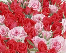 Beautiful Wallpapers Beautiful Rose Wallpapers Pc Beautiful Rose Popular Pictures