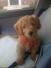 doodle for adoption indiana goldendoodle willow the doodle goldendoodle