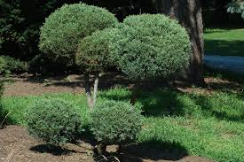 juniper shrubs blue pfitzer the pom pom bush